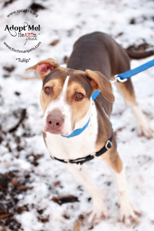 Tulip, a beagle mix, is one of many adoptable pets available at the SPCA of Westchester in Briarcliff Manor.