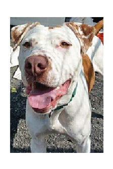 Gilligan, a pointer/pit mix, is one of many adoptable pets available at the Putnam Humane Society in Carmel.