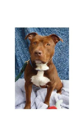 Blake, a pitbull, is one of many adoptable pets available at the Putnam Humane Society in Carmel.