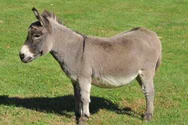 Chipper is a 20-year-old miniature donkey who lives at a home on North Wilton Road in New Canaan.