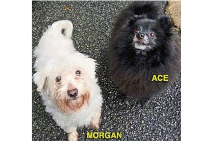 Morgan, a maltese, and Ace, a pomeranian, are among the many adoptable pets available at the Putnam Humane Society in Carmel.