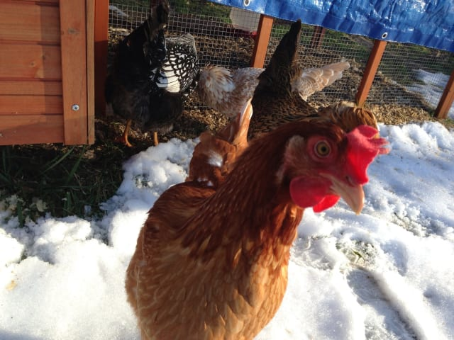 Hilltop Hanover Farm in Yorktown will teach homeowners how to raise backyard chickens.