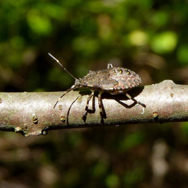 Chances are you've seen the brown marmorated beetle -- or stink bug -- in your home this winter.
