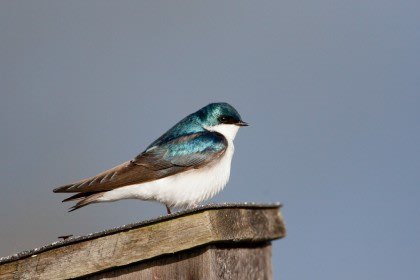 The tree swallow is among the aerial insectivores that breed more successfully in areas with man-made next boxes. The population of the bird is declining in Connecticut, according to a study.