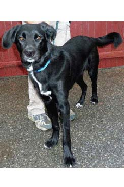 Denzel, a Lab/retreiver mix, is one of many adoptable pets available at the Putnam Humane Society in Carmel.
