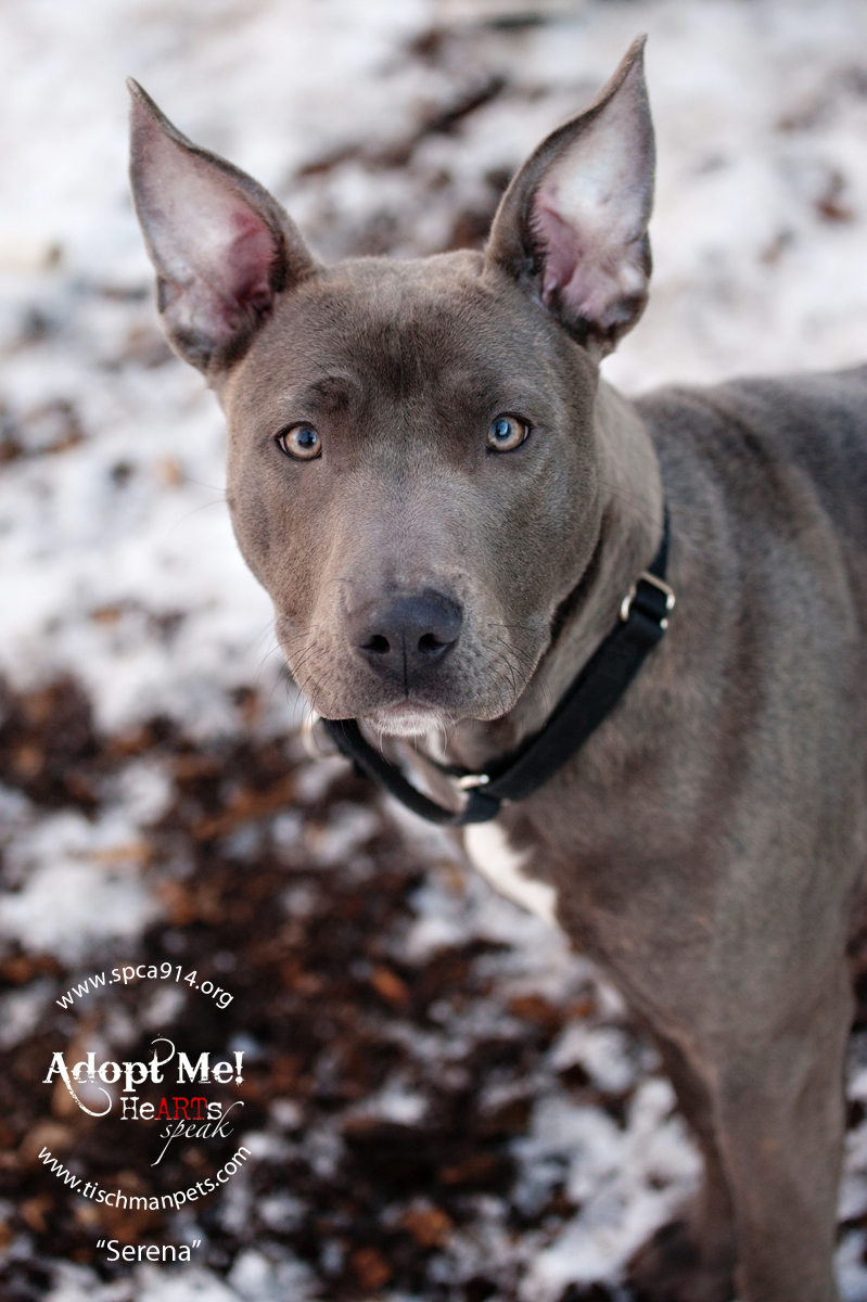 Serena, a pit mix, is one of many adoptable pets available at the SPCA of Westchester in Briarcliff Manor.