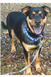 Zeus, a rottweiler/terrier mix, is one of many adoptable pets available at the Putnam Humane Society in Carmel.