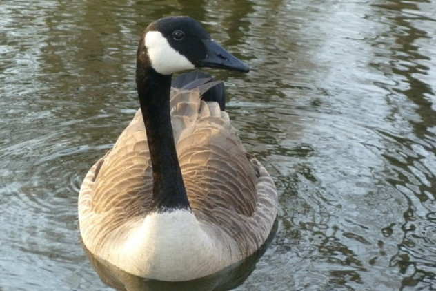 The Village of Mamaroneck has a contract with the USDA to eliminate geese from the community.