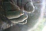 Gorilla-hand.jpg