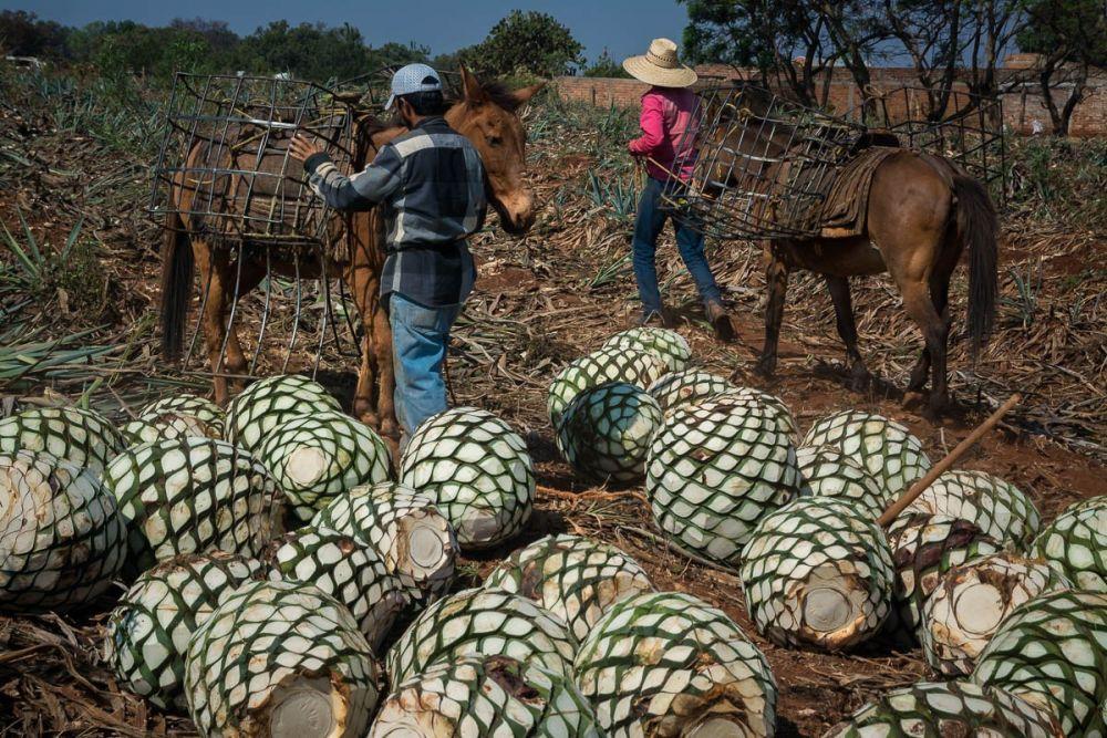 Jimadores unloading horses of their agave piñas in an agave field in Arrandas, Jalisco, Mexico.