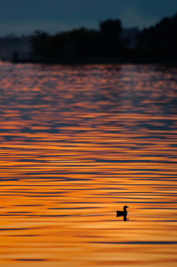 Duck on the lake during sunset.