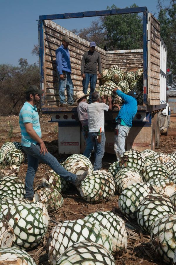 Workers loading agave piñas onto a truck before being taken to the Tequila Cazadores distillery in Arrandas, Jalisco, Mexico.
