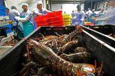 American lobsters
