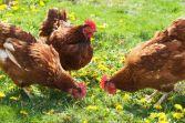 Chicken Northumberland