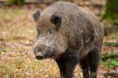 Germany boar