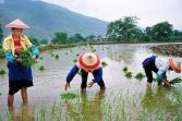 high giant rice