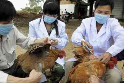 China bird flu poultry