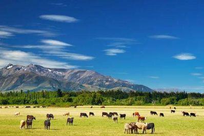 New Zealand cow farmers