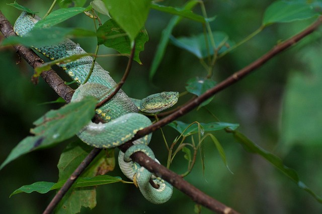 Image result for pit viper snake in amazon forest