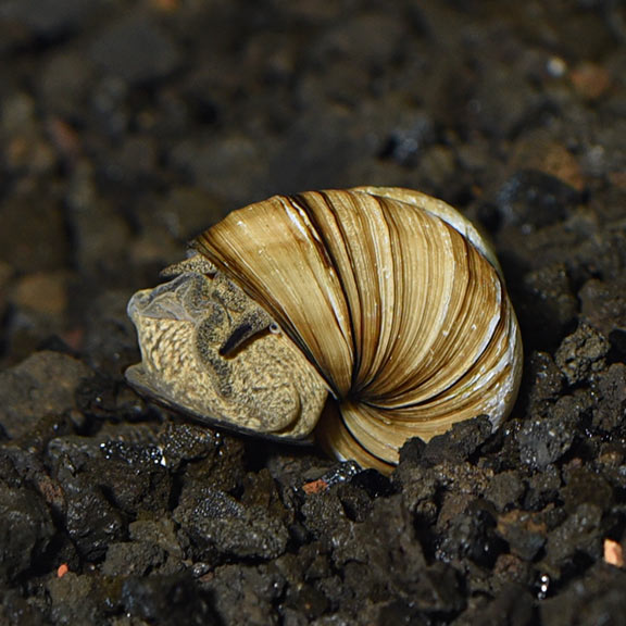 Japanese pond snails