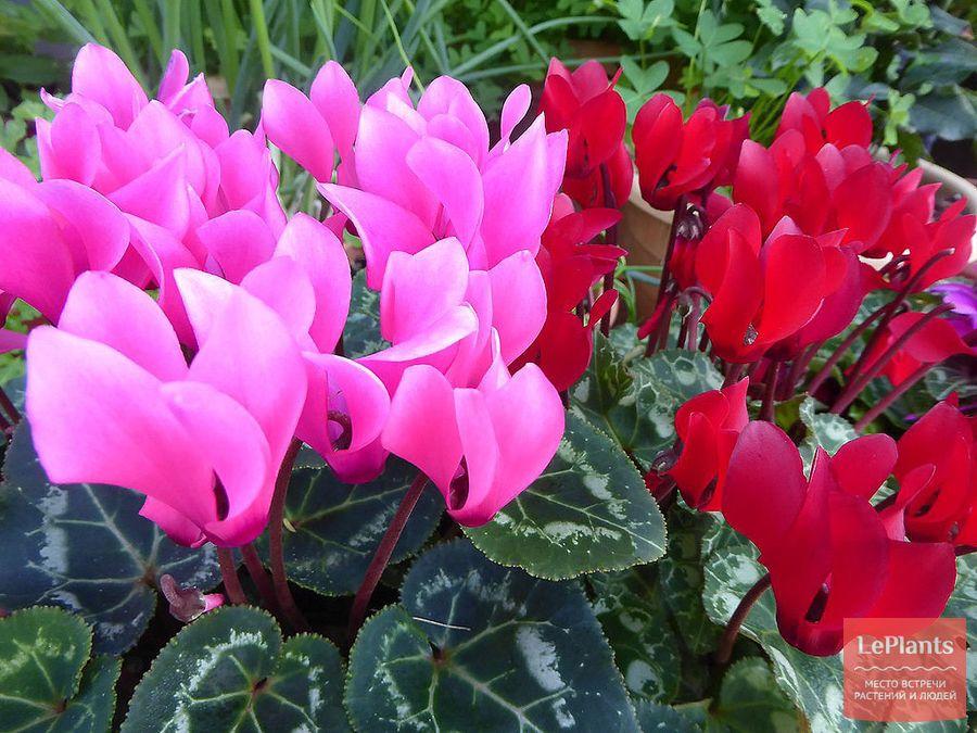 Цикламен персидский из семян