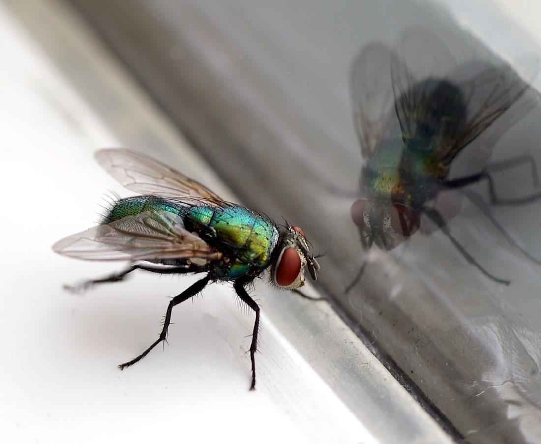 В доме появляются большие мухи приметы. Откуда берутся мухи в доме зимой. Как появляются мухи в закрытом помещении