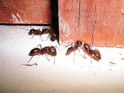 Рыжие муравьи в квартире: причины появления и как от них избавиться