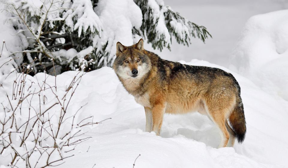 К чему снится волк мужчине