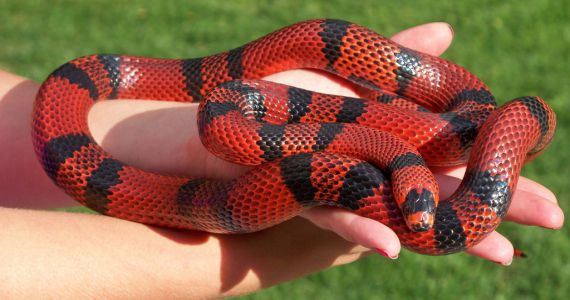 Сон змея красная