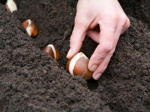 Когда сажать в зиму тюльпаны
