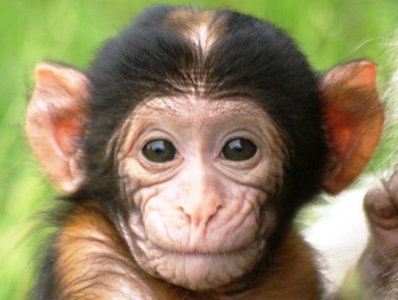 К чему снятся обезьянки маленькие