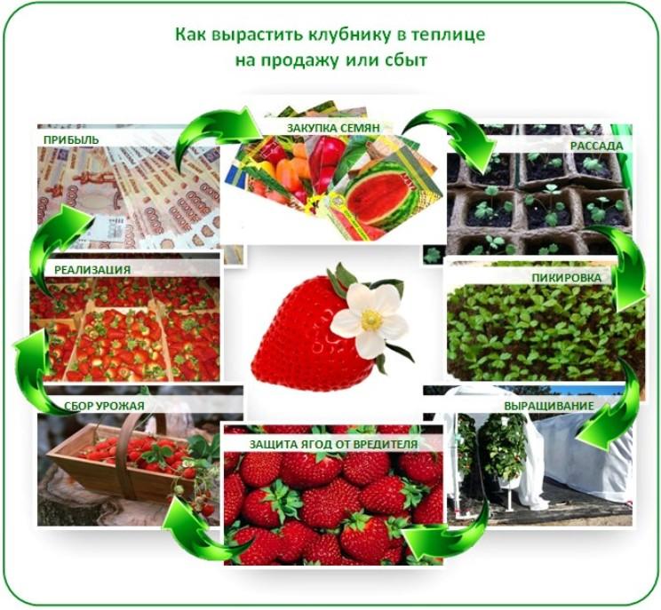 Выращивание клубники в теплице круглый год бизнес план