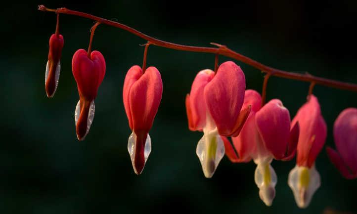 Bleeding heart pink flower