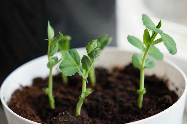 Выращиваем горох