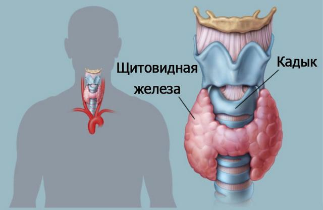 Как успокоить щитовидку