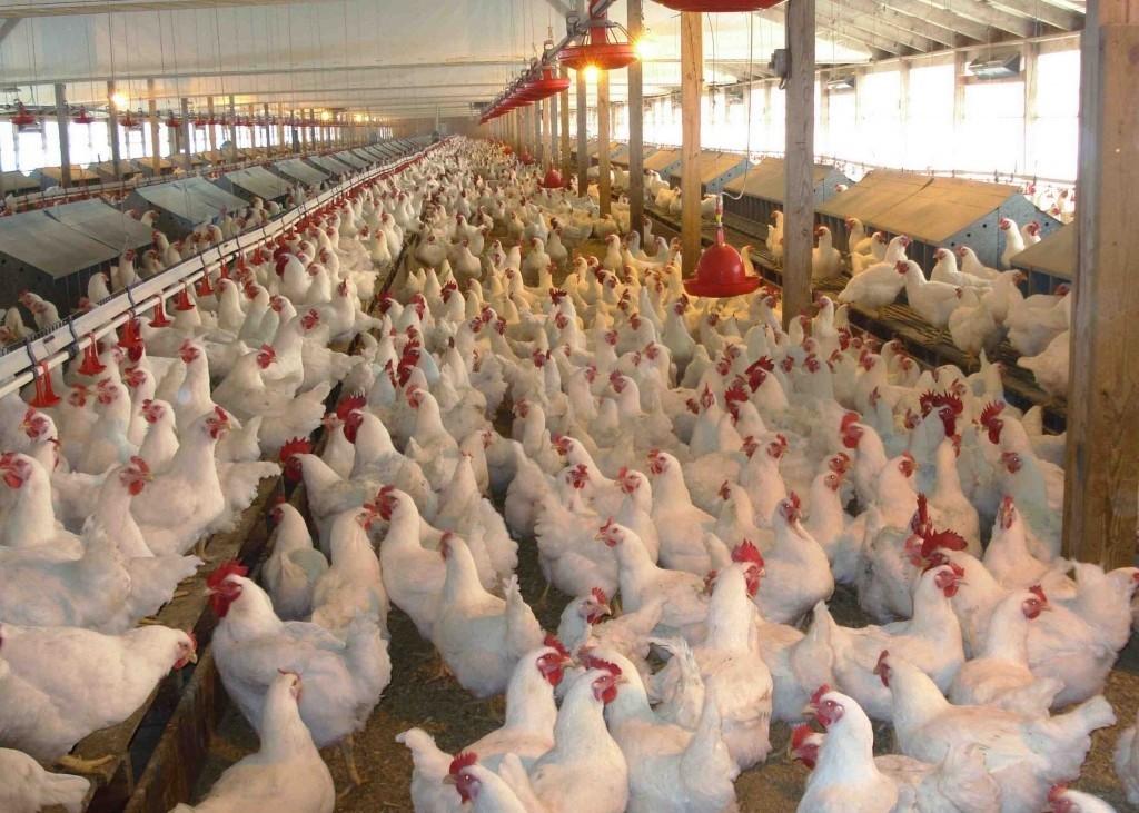 Куриная ферма как бизнес