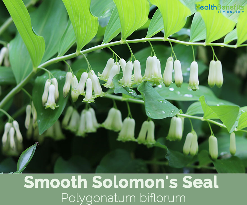 Solomon seal benefits