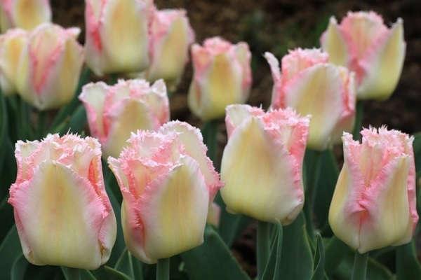 Когда высаживать тюльпаны осенью в москве