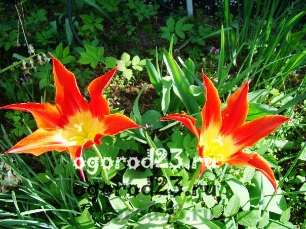 Когда сажают тюльпаны осенью в каком