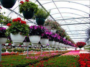 Выращивание цветов на продажу в теплице видео