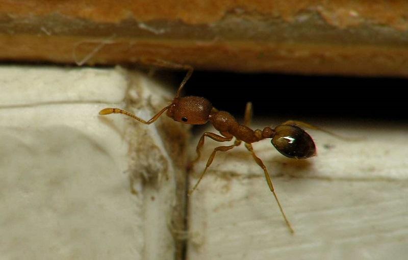 В квартире завелись маленькие рыжие муравьи