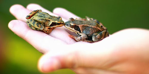 к чему снится ловить лягушек