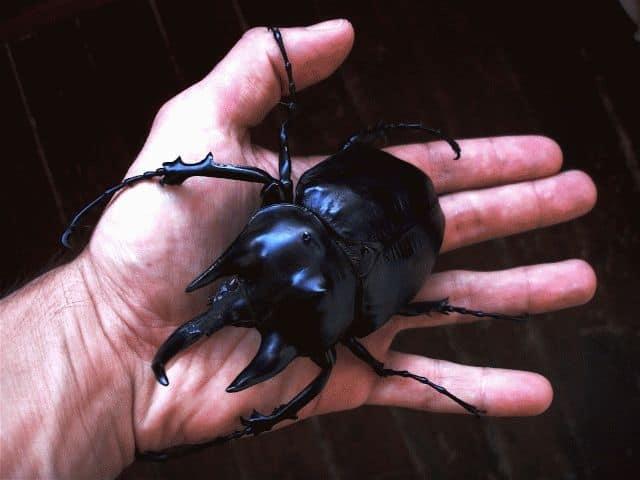 Сонник большие жуки