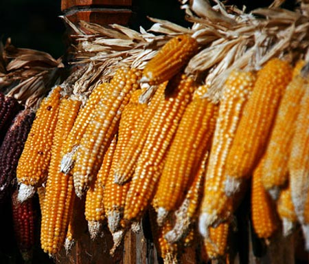 Как сушить кукурузу на зиму