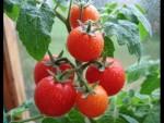 Выращивание помидоров в теплице как бизнес