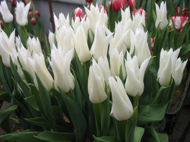 Когда высаживать тюльпаны в грунт