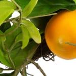 Lemon Wreath - 2