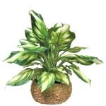 Hosta in Low Basket Planter - 1