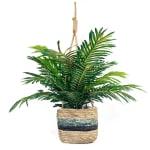 Phoenix Palm in Hanging Basket - 1