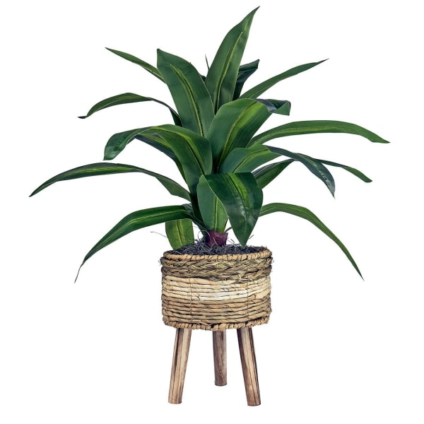Dracaena Plant in Tri-Color Basket Stand